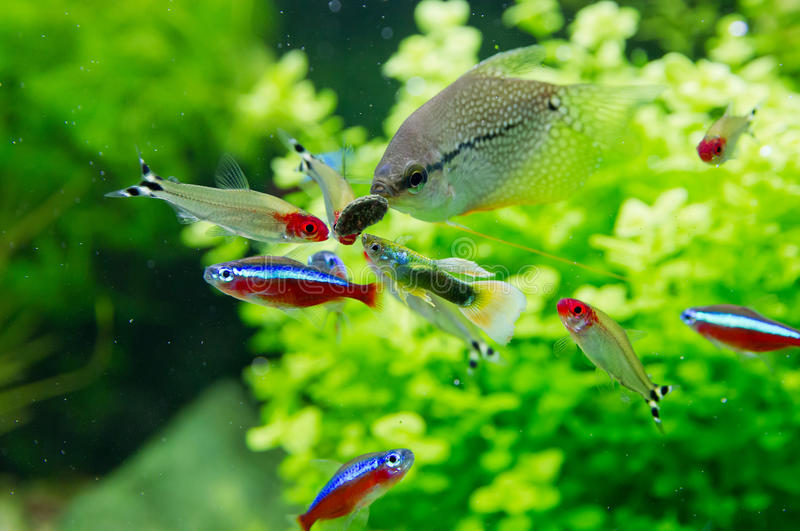 Pesce esotico in acquario d'acqua dolce immagini stock libere da diritti
