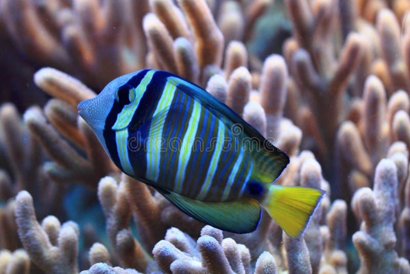 Pesce esotico blu e giallo fotografia stock