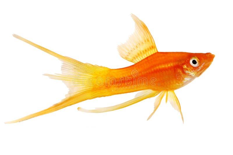 Pesce femminile maschio dell'acquario di Swordtail di paia del Helleri rosso di Xiphophorus isolato su bianco fotografia stock