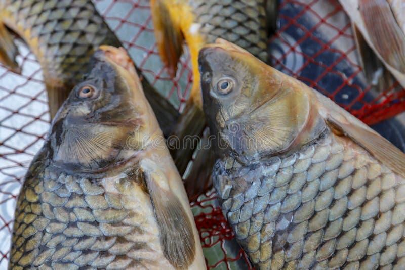 Pesce fresco dal lago o dal fiume fotografie stock