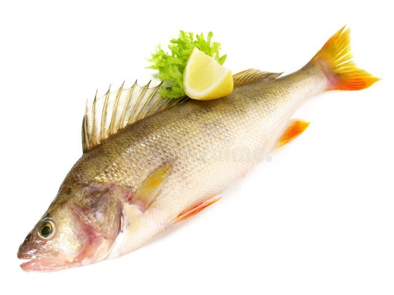 Pesce fresco - pesce persico fotografia stock libera da diritti