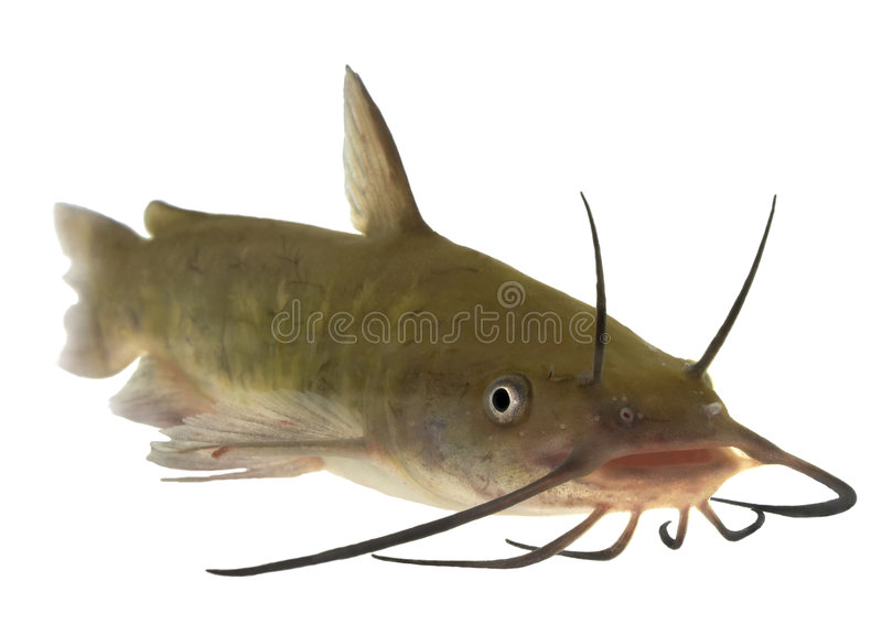 Pesce gatto di Brown - isolato fotografia stock