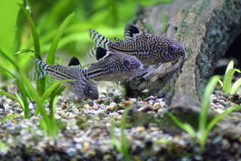 Pesce gatto di corydoras trinilleatus fotografia stock for Pesce gatto acquario
