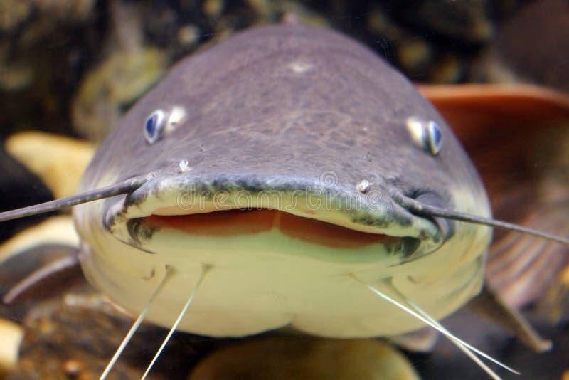 Pesce gatto sorridente