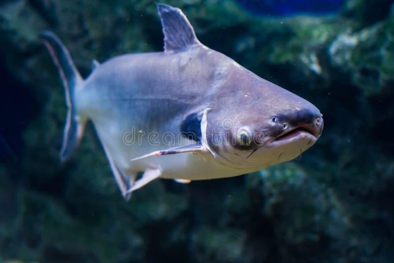 Pesce gatto tropicale dell 39 orecchio del nero del pesce for Pesce gatto acquario