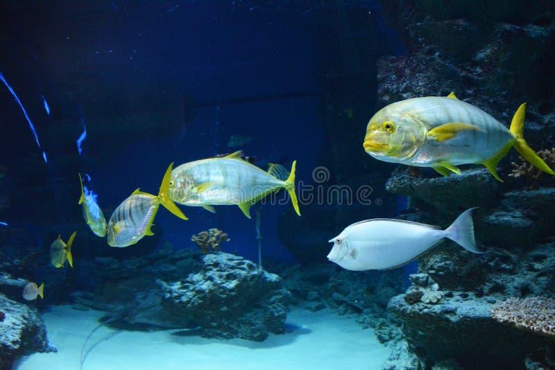 Pesce giallo esotico scintillare nell'immagine della foto dell'acqua blu immagini stock libere da diritti