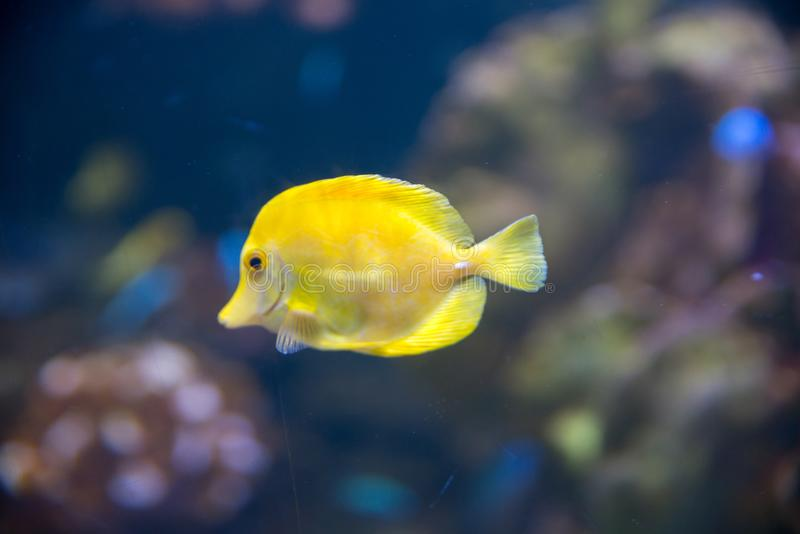 Pesce giallo tropicale e bello esotico in un oceano blu fotografie stock libere da diritti