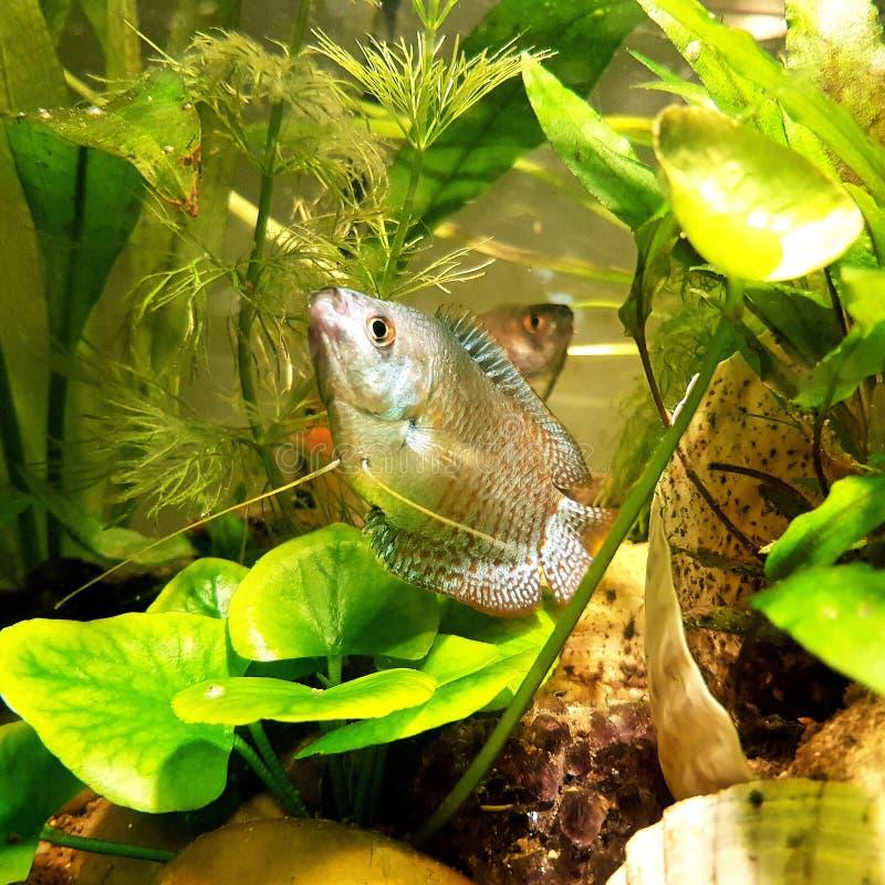 Pesce glorioso in acque graziose fotografia stock libera da diritti