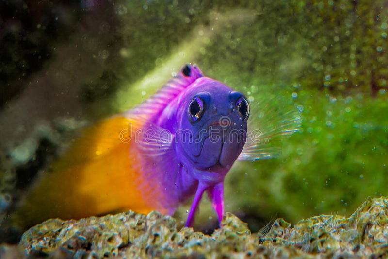 Pesce Gramma reale Basslet immagine stock libera da diritti