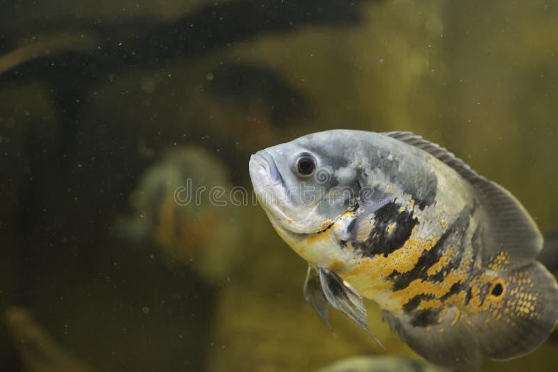 pesce Grigio-arancio fotografie stock