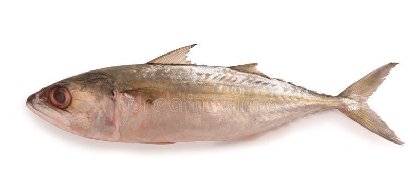 Pesce indiano fresco dello sgombro isolato su fondo bianco fotografie stock