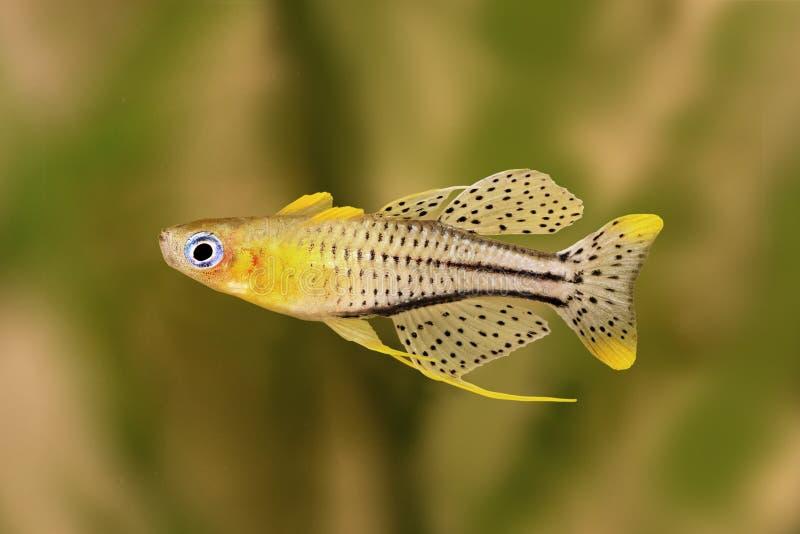Pesce macchiato Gertrude& x27 dell'acquario di gertrudae di Pseudomugil osservato blu del pesce di arcobaleno; occhio azzurro di  fotografie stock