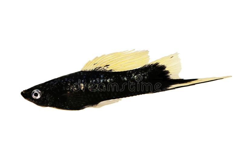 Pesce maschio dell'acquario del Helleri nero di Swordtail Xiphophorus isolato su bianco fotografia stock
