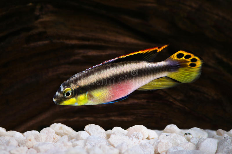 Pesce maschio dell'acquario delle cichlidae di kribensis del pulcher di Pelvicachromis fotografie stock