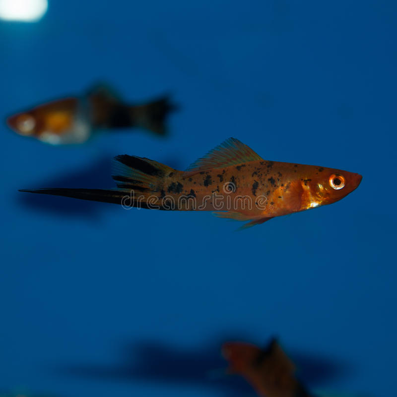 Pesce maschio di Swordtail del calicò fotografie stock