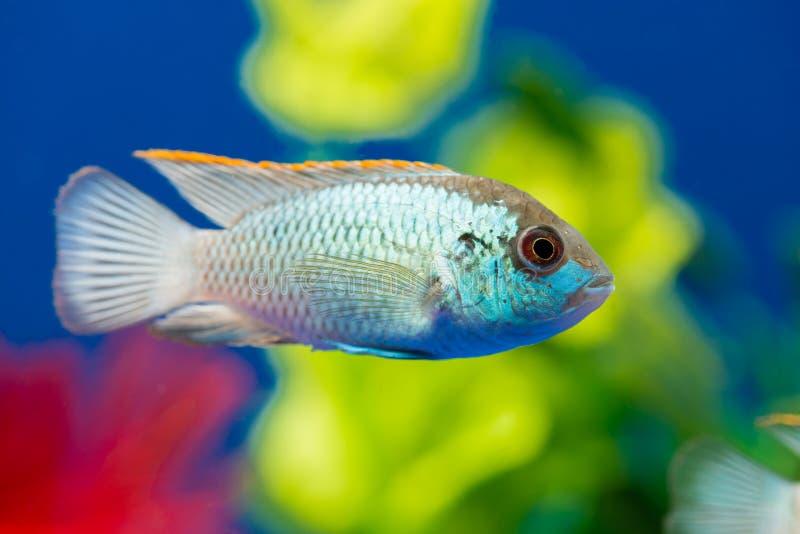 Pesce Nannacara dell'acquario fotografie stock libere da diritti