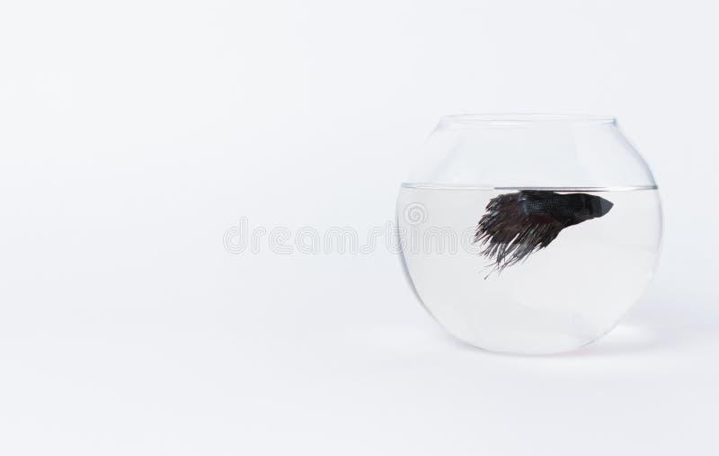 Pesce nero in acquario su un fondo bianco Concetto di solitudine Questo le specie è chiamata il galletto siamese o il pesce comba immagini stock libere da diritti
