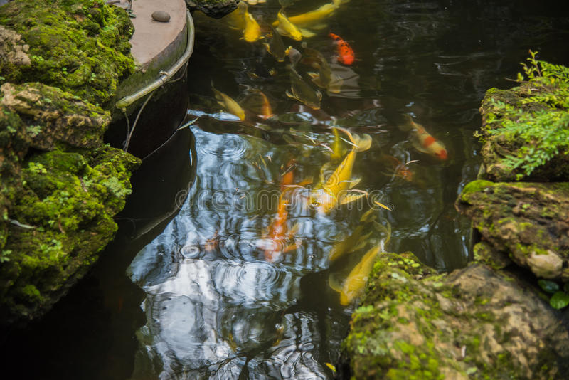 Pesce operato variopinto della carpa, pesce di koi in giardino fotografia stock libera da diritti