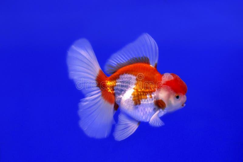 Pesce Oranda dell'oro fotografia stock libera da diritti