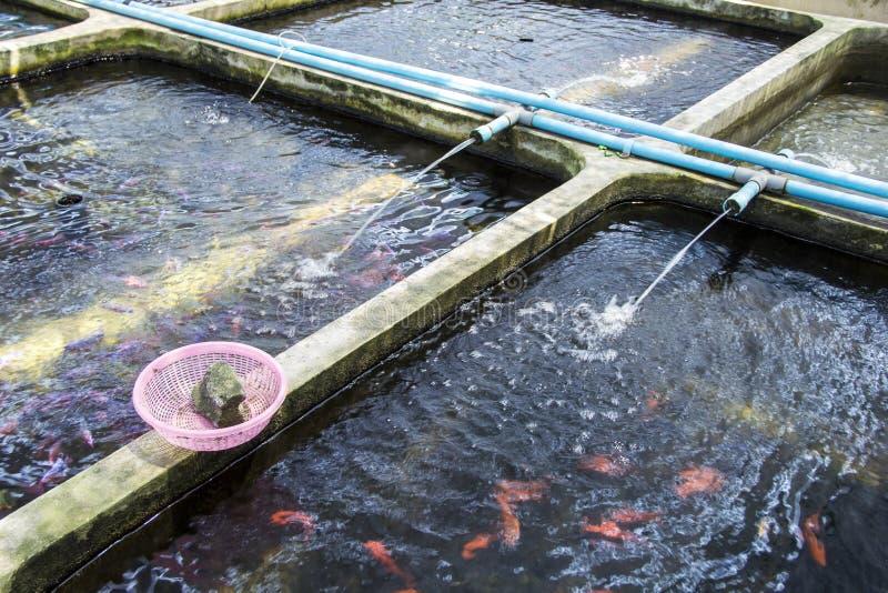 Pesce ornamentale della scuola materna dell'azienda agricola d'acqua dolce nella diffusione del sistema di acquacoltura fotografia stock