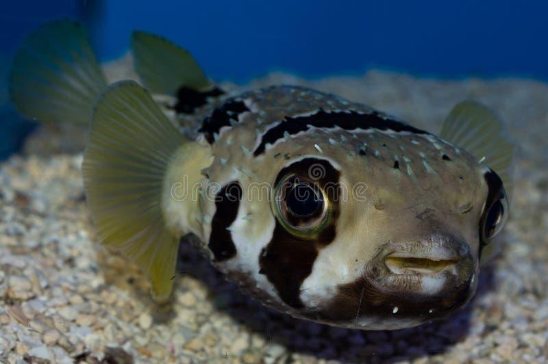Pesce palla mascherato dell'istrice fotografia stock