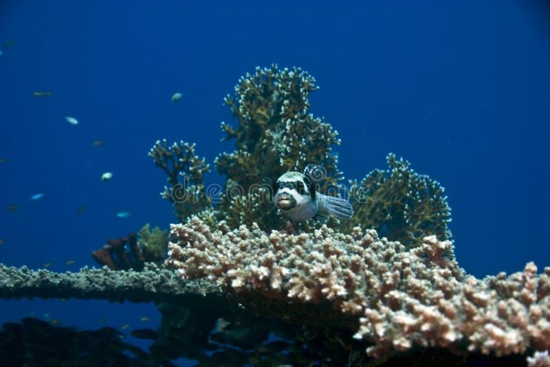 Pesce palla mascherato (diadematus del arothron) immagine stock libera da diritti