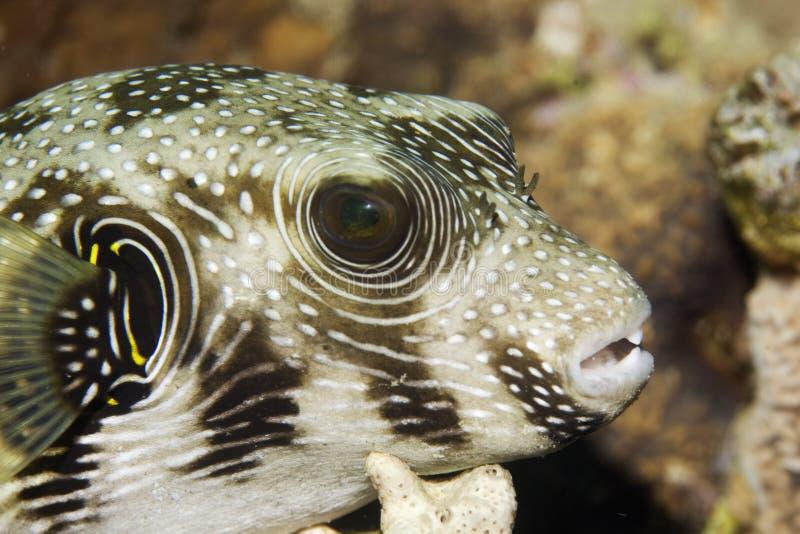 Pesce palla stellato (stellatus del arothron) fotografia stock