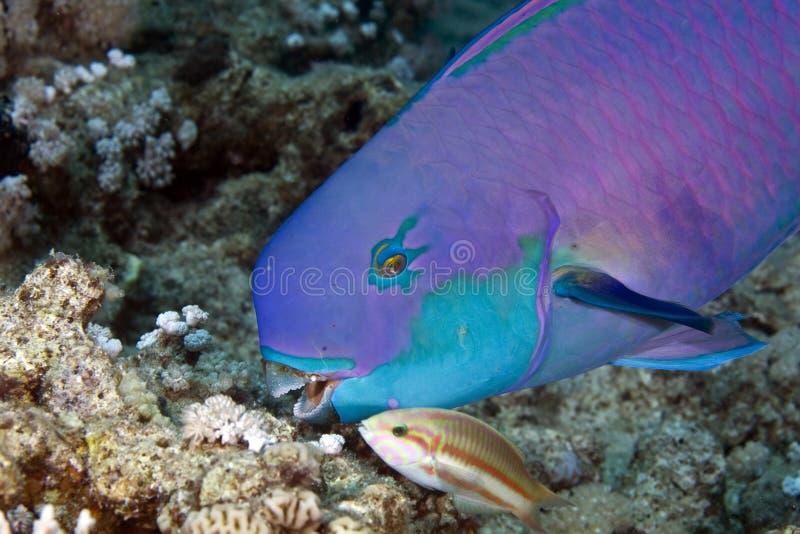 Pesce pappagallo fotografia stock