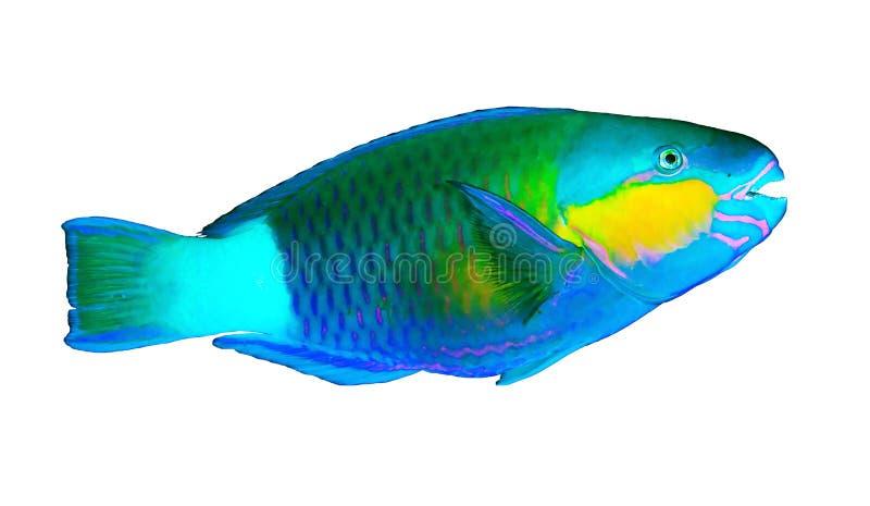 Pesce pappagallo della margherita immagini stock