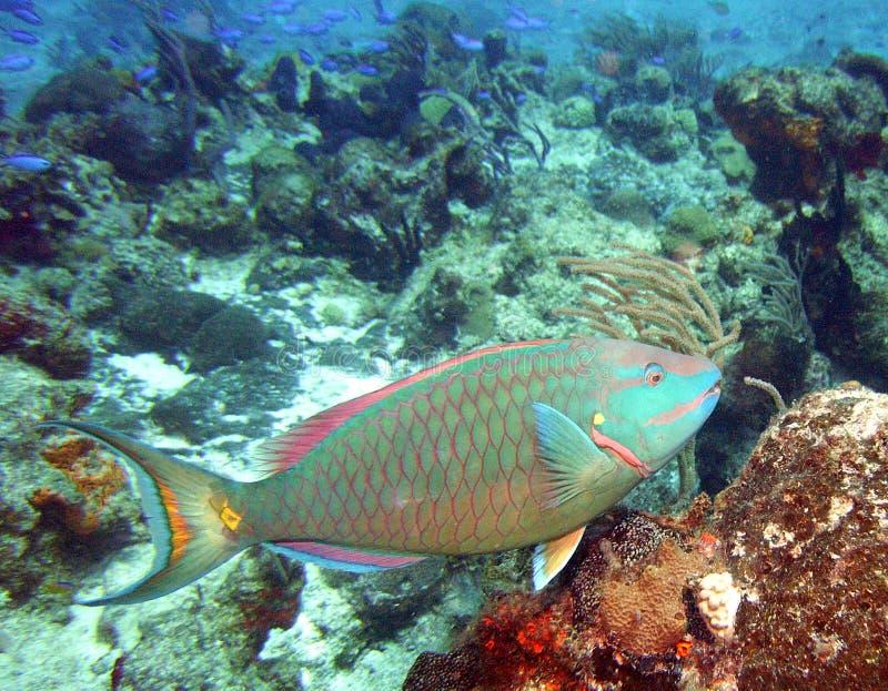 Pesce pappagallo dello Stoplight immagine stock