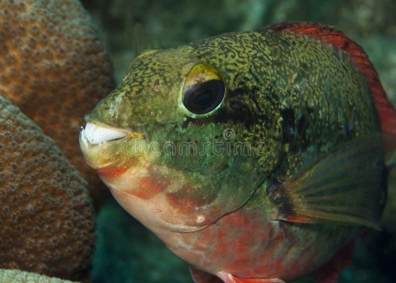 Pesce pappagallo di Redband fotografia stock