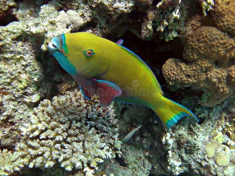 Pesce pappagallo giallo fotografia stock libera da diritti