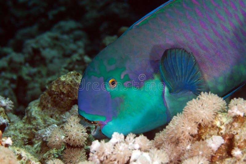 Pesce pappagallo nel Mar Rosso del de. fotografia stock libera da diritti