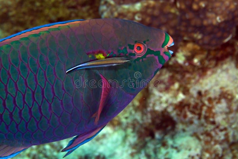 Pesce pappagallo nel Mar Rosso del de. fotografia stock