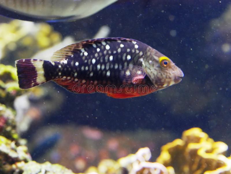 Pesce pappagallo rosso e flecked all'acquario di Gosier in Guadalupa immagini stock libere da diritti
