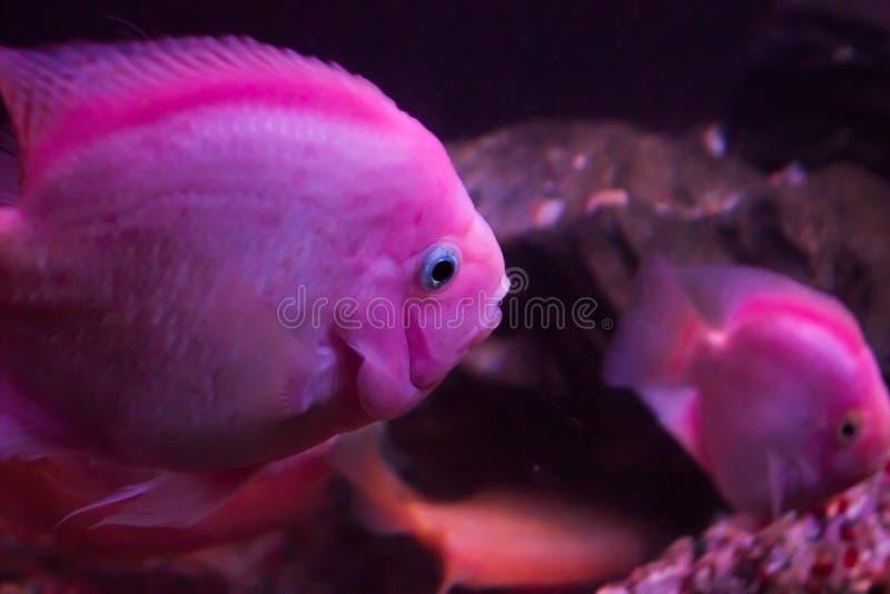 Pesce pappagallo rosso, fotografia subacquea immagini stock libere da diritti