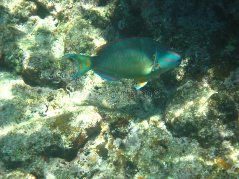 Pesce pappagallo sorridente immagini stock libere da diritti