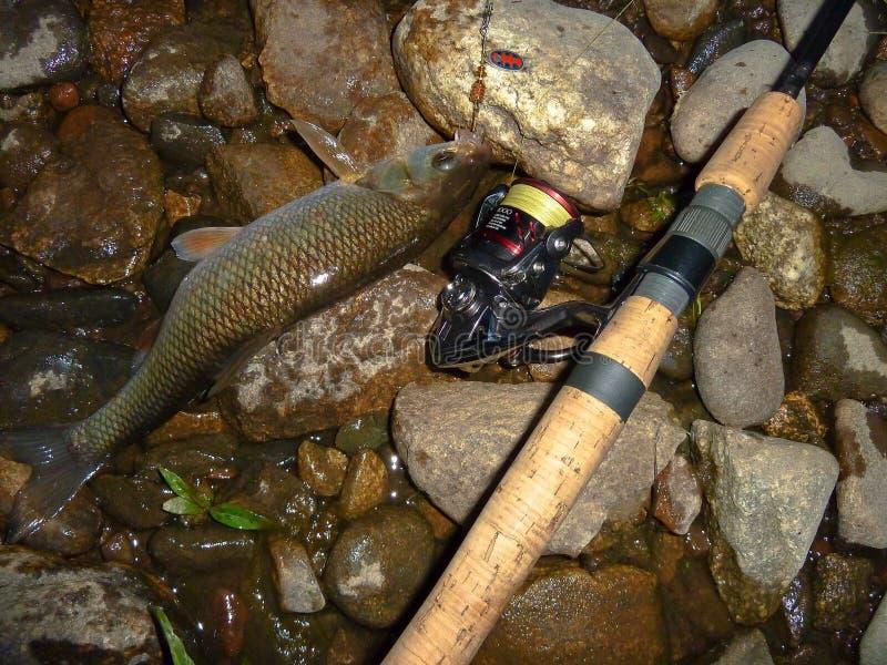Pesce pescato sulla filatura fotografie stock libere da diritti