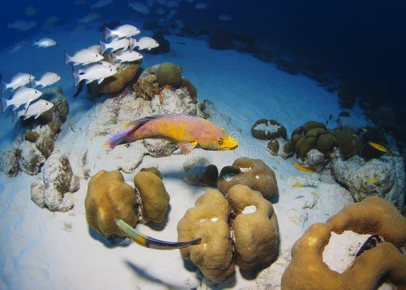 Pesce porco del Bonaire fotografia stock libera da diritti