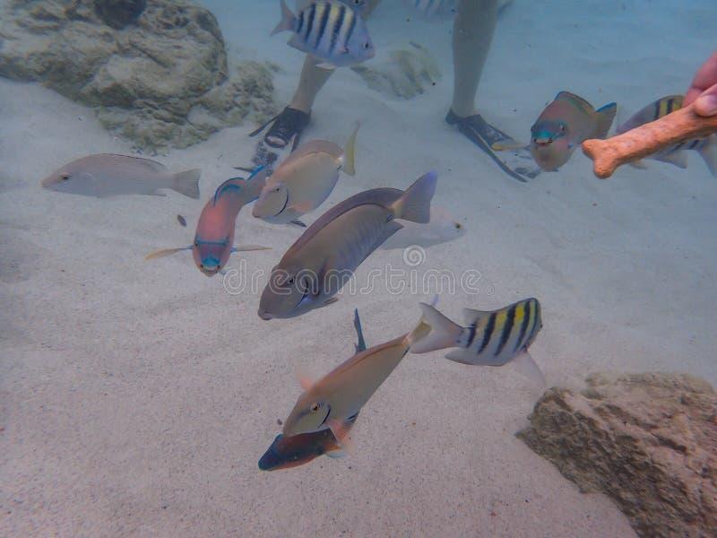 Pesce principale del Surgeonfish, del pesce pappagallo e di Sargeant dell'oceano che mangia i biscotti per cani dai turisti fotografie stock