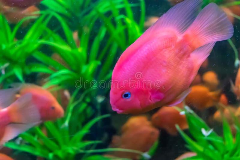 Pesce rosa con gli occhi azzurri fra alga in grande acquario fotografia stock libera da diritti