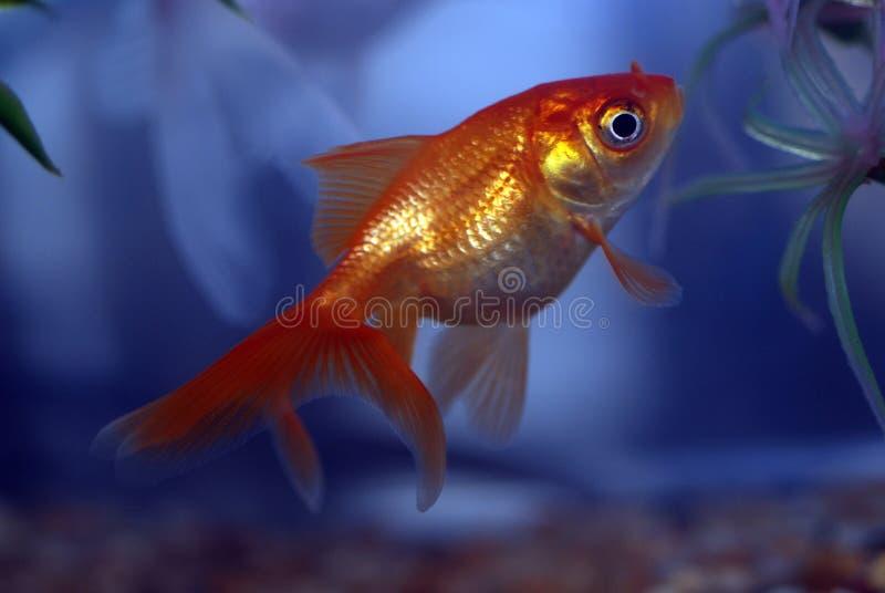Pesce rosso fotografia stock