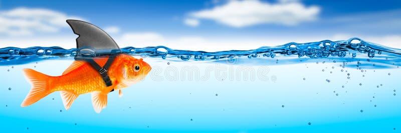 Pesce rosso coraggioso con il costume dell'aletta dello squalo immagine stock