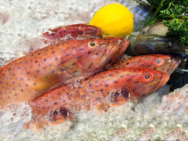 Pesce rosso della cernia su ghiaccio fotografie stock libere da diritti