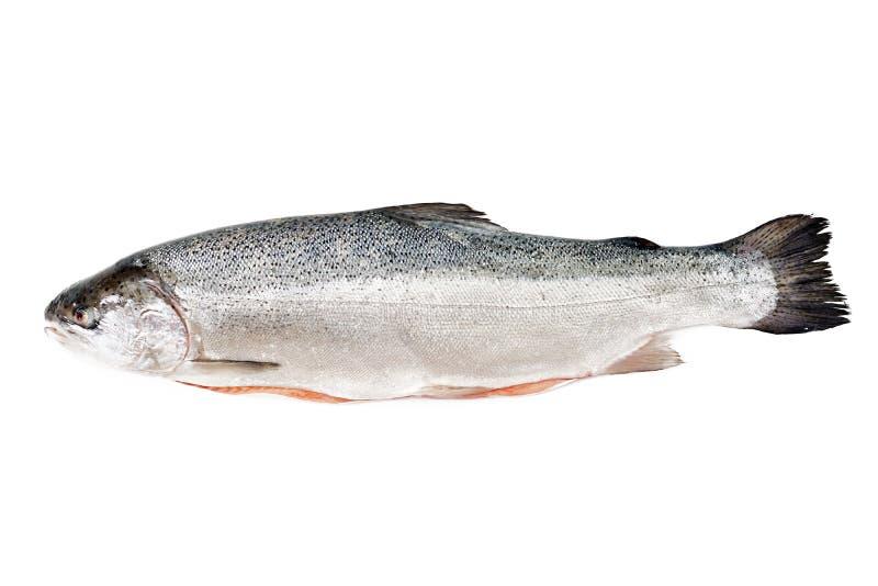 Pesce rosso di color salmone crudo fresco isolato su un fondo bianco immagini stock