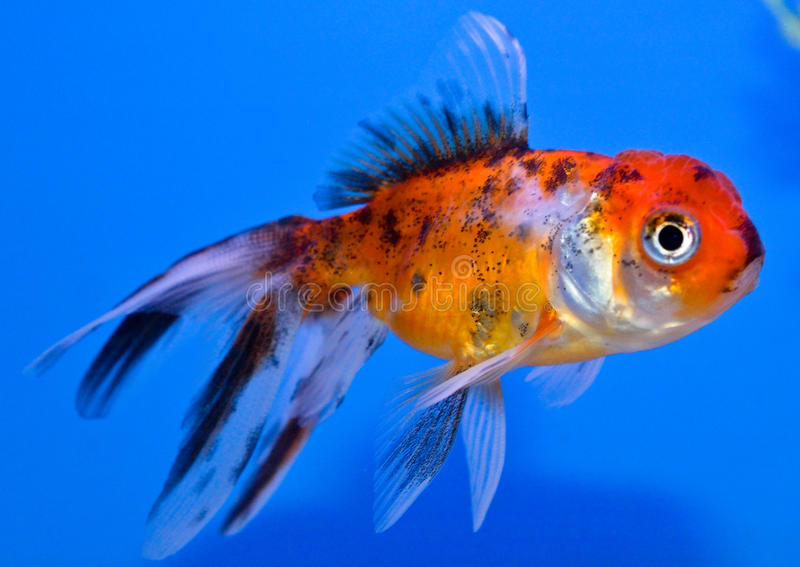 Pesce rosso di oranda del calic immagine stock immagine for Pesce oranda