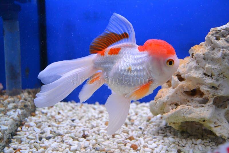 Pesce rosso di Shubunkin fotografia stock libera da diritti