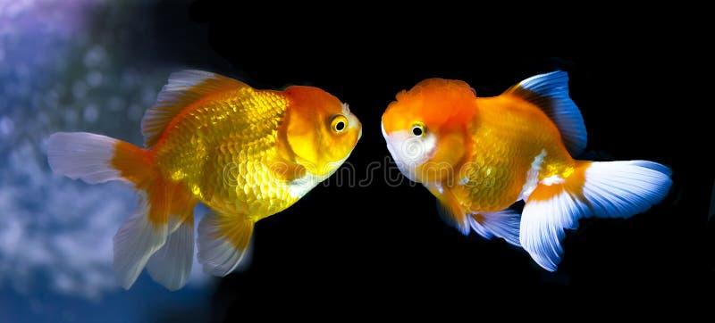 Pesce rosso due faccia a faccia immagini stock