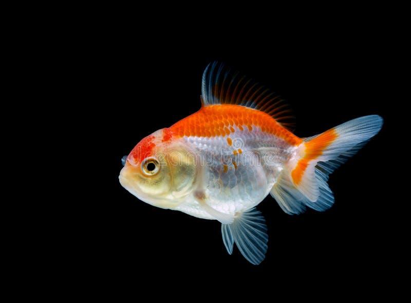 pesce rosso isolato su un fondo nero scuro fotografia stock libera da diritti