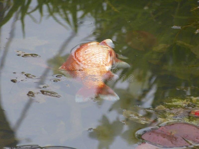 Pesce rosso, morto immagini stock libere da diritti